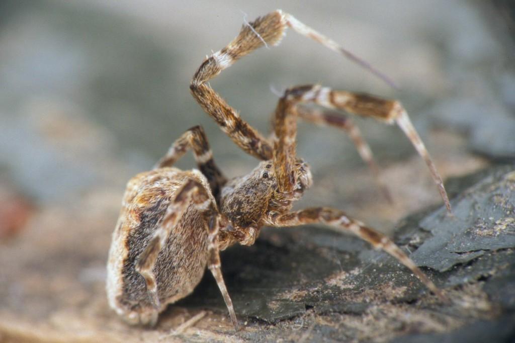 Descubren una araña que electrifica su tela